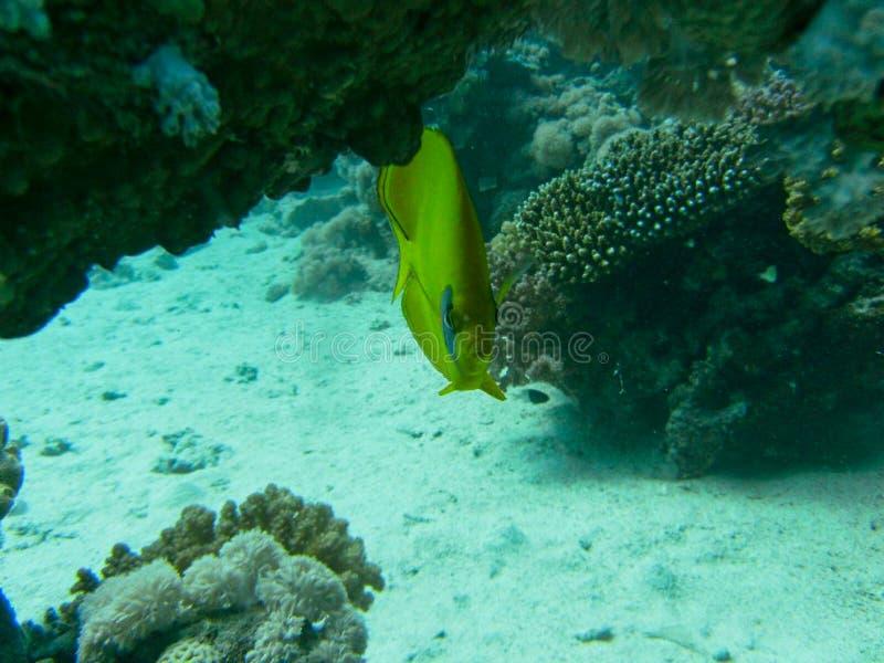 een discusvis dichtbij door een koraal stock afbeelding