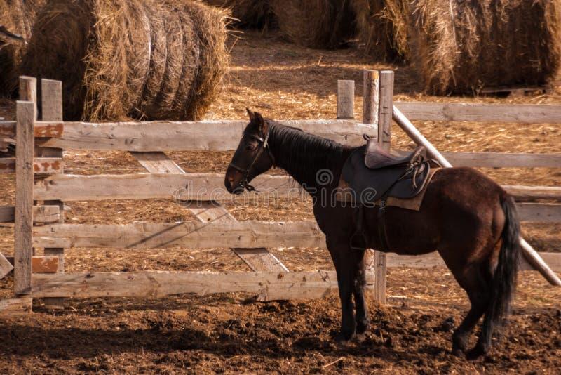 Een donker bruin paard in uitrusting bevindt zich dichtbij een paddock met geoogste hooibergen royalty-vrije stock foto