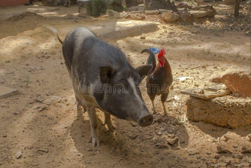 Een donker ruwharig varken en een rode haan op het landbouwbedrijf royalty-vrije stock afbeeldingen
