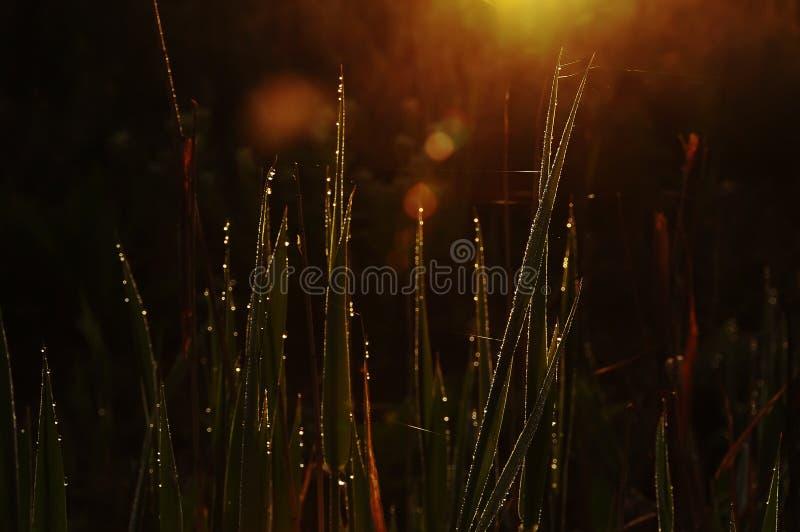Een donkere foto van het gras in de het fonkelen dalingen van dauw en spinnewebben stock afbeelding