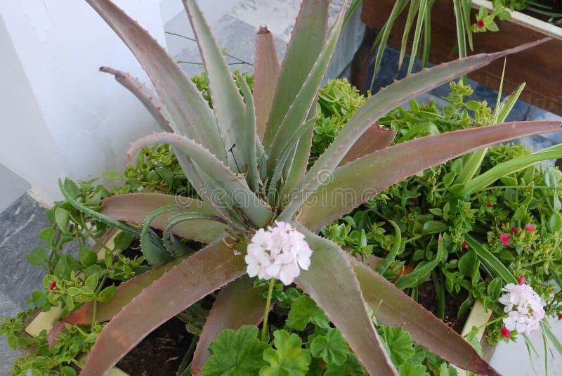 Een doornige, grote aloëbloem wordt omringd door kleine witte en roze bloemen stock afbeelding