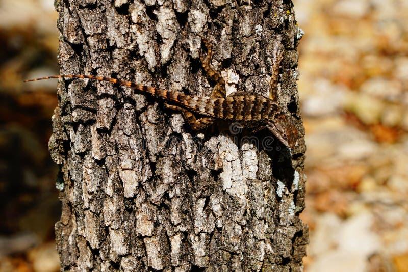 Een doornige hagedis van Texas op een boom stock afbeeldingen