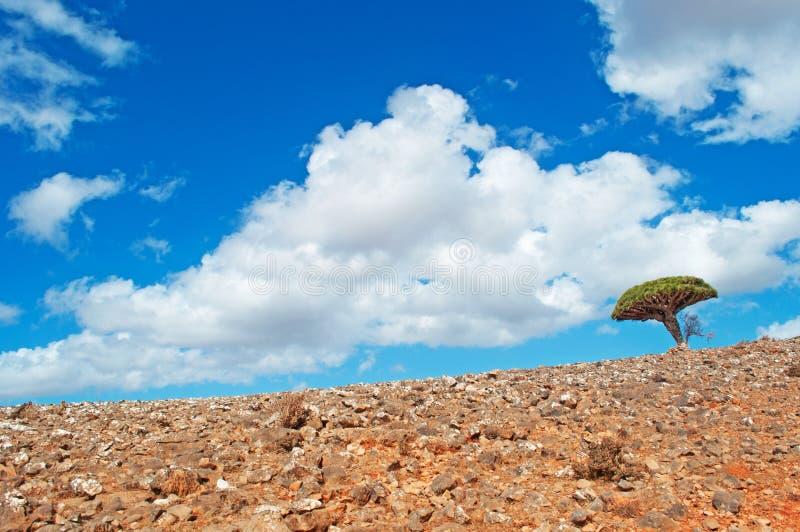 Een Dragon Blood-boom, Socotra, Yemen, liefde, symbool van huwelijk, tweeling royalty-vrije stock afbeeldingen