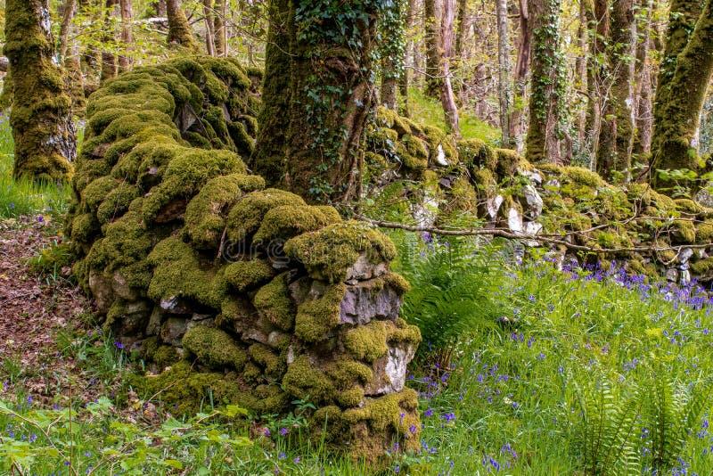 Een droge die steenmuur in mossess en korstmossenkrommen rond a wordt behandeld stock afbeeldingen