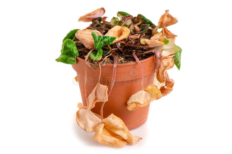 Een droge installatie in een pot stock afbeelding