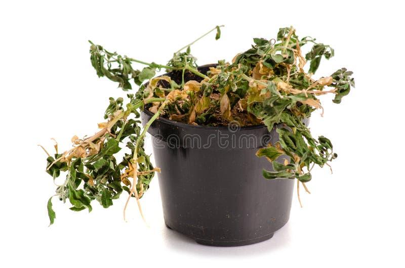 Een droge installatie in een pot stock afbeeldingen