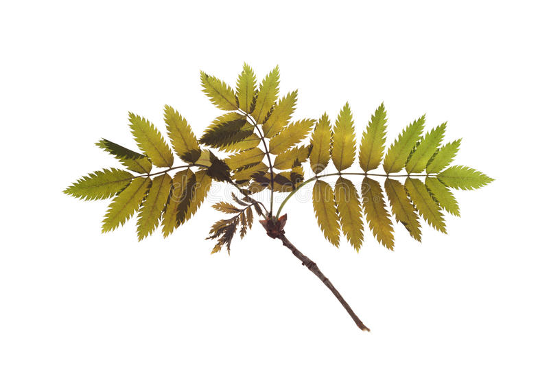 Een droge twijg van Lijsterbes voor een herbarium royalty-vrije stock fotografie