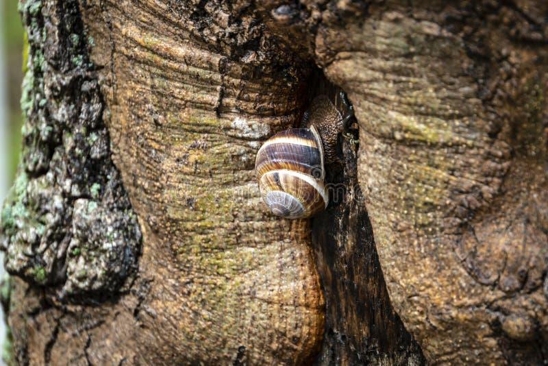 Een druivenslak op de schors van een oude boom stock fotografie