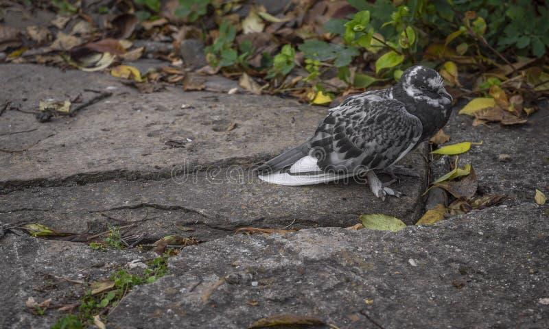 Een duif die zich op een steenweg bevinden stock foto's