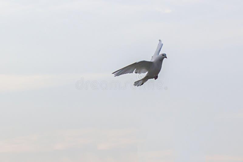 Een DUIFduif tijdens de vlucht stock foto's
