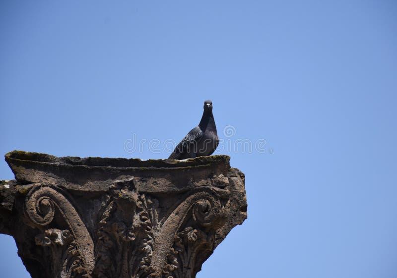Een duiftribune op geruïneerde kolom in het Pompei, Napels, Italië stock foto's