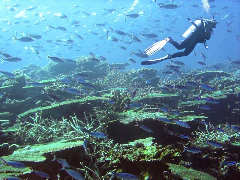 Een duiker omringd door fusiliers zwemt over tafel koraal stock foto