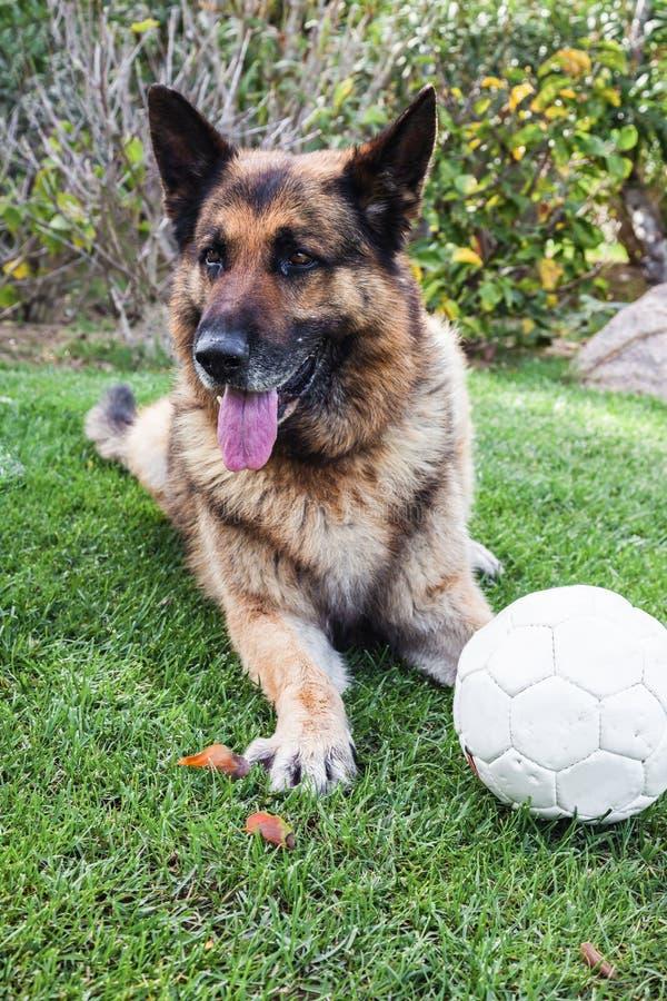 Een Duitse herder met een voetbalbal op het gras stock afbeeldingen