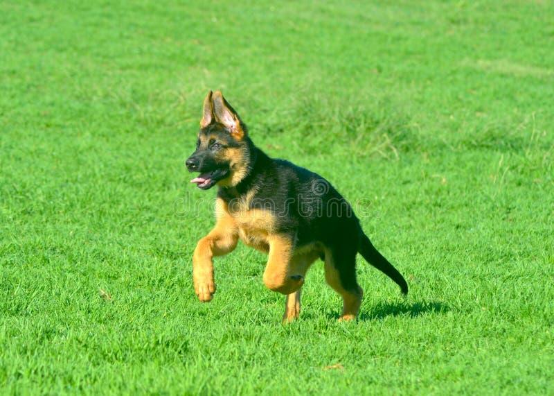 Een Duitse herderpuppy die over groen gras lopen stock afbeeldingen