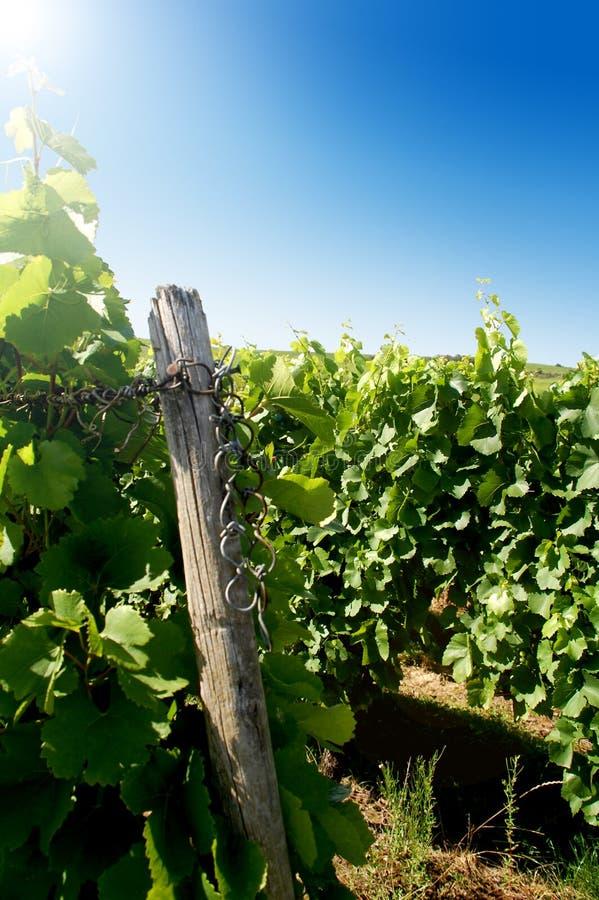 Een Duitse wijngaard dichtbij rhe royalty-vrije stock foto