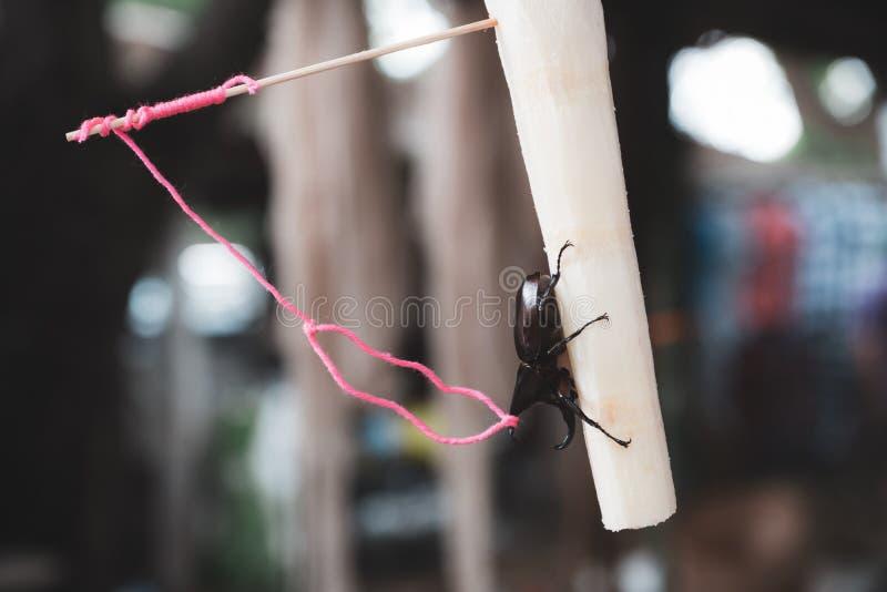 Een Dynastes hercules door een kabel op suikerrietstuk dat wordt gebonden royalty-vrije stock afbeeldingen