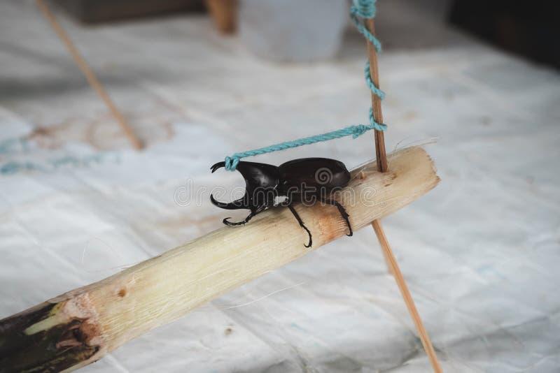 Een Dynastes hercules door een kabel op suikerrietstuk dat wordt gebonden stock afbeeldingen
