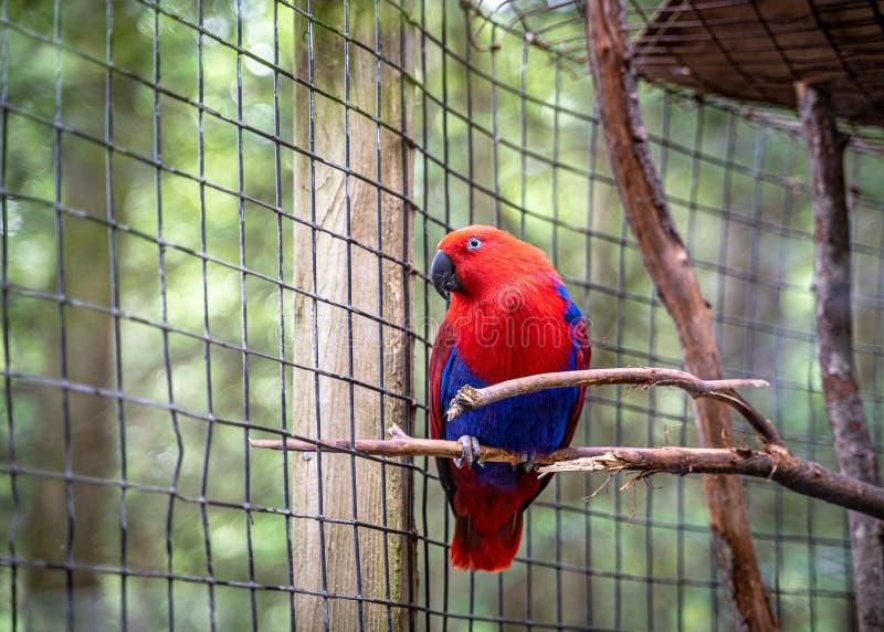 Een Eclectus-papegaaizitting op een Boomtak royalty-vrije stock foto's