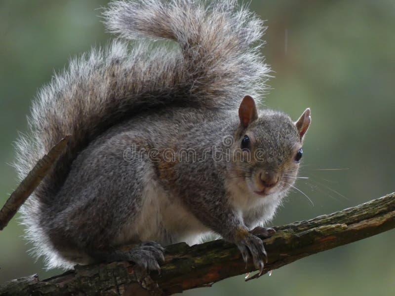 Een eekhoorn bekijkt me royalty-vrije stock foto's