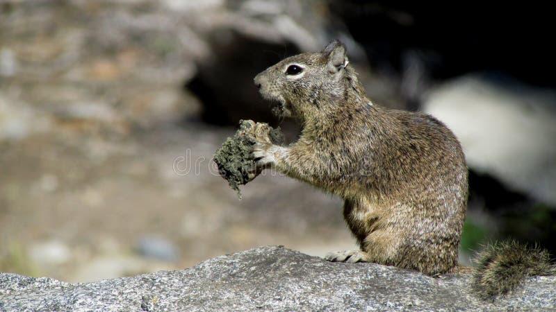 Een Eekhoorn die, het Nationale Park van Yosemite eten royalty-vrije stock fotografie
