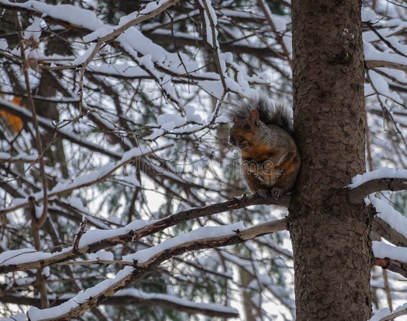 Een eekhoorn die zijwaarts kijkt op een boom vol sneeuw tijdens de winter van 2019 royalty-vrije stock afbeelding