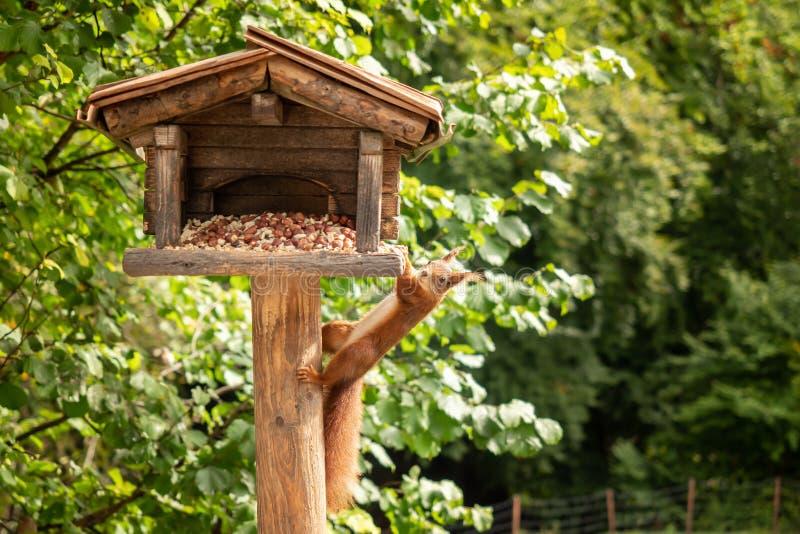 Een eekhoorn hangt van een vogelhuis stock afbeelding
