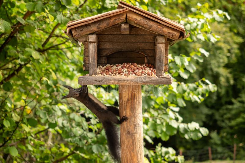 Een eekhoorn hangt van een vogelhuis royalty-vrije stock afbeeldingen