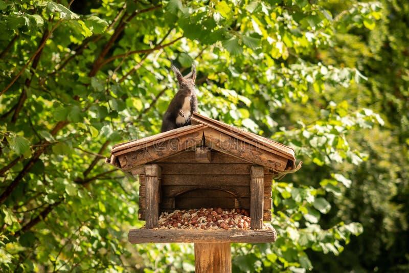 Een eekhoorn hangt van een vogelhuis stock fotografie
