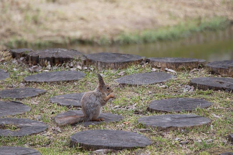 Een eekhoorn met een dichtbegroeide staart eet noten zijdelings zittend op een stomp Bruin knaagdierdier in aard royalty-vrije stock foto