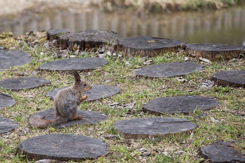Een eekhoorn met een dichtbegroeide staart eet noten zijdelings zittend op een stomp Bruin knaagdierdier in aard het eten royalty-vrije stock afbeeldingen