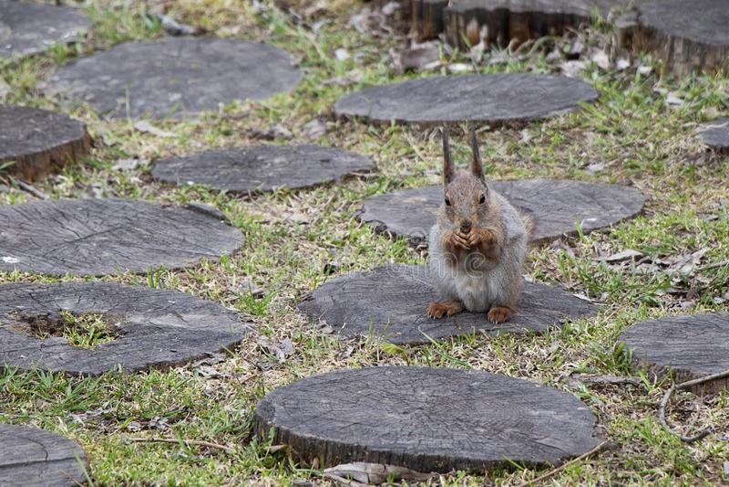 Een eekhoorn met een dichtbegroeide staart eet noten zittend op een stomp Bruin knaagdier in aard het eten stock foto