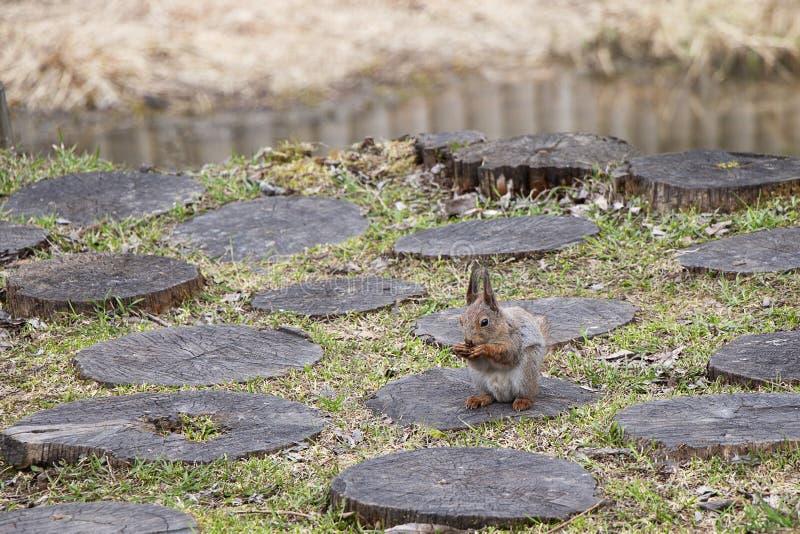 Een eekhoorn met een dichtbegroeide staart eet noten zittend op een stomp Bruin knaagdierdier in aard het eten royalty-vrije stock afbeelding
