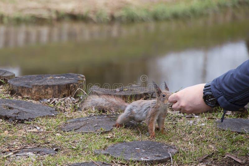 Een eekhoorn met een pluizige staart eet noten van de handen van een mens Bruin knaagdier in aard het eten royalty-vrije stock fotografie