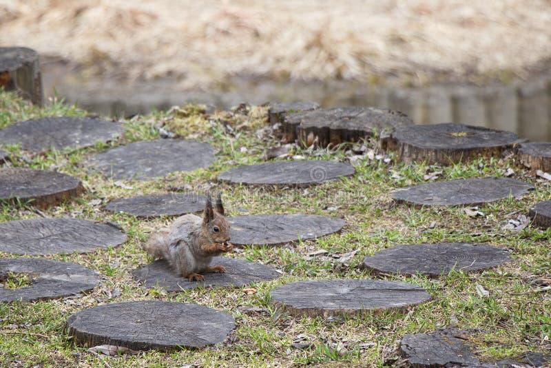 Een eekhoorn met een pluizige staart eet noten zittend voor een stomp Het bruine knaagdierdier in aard eet royalty-vrije stock foto