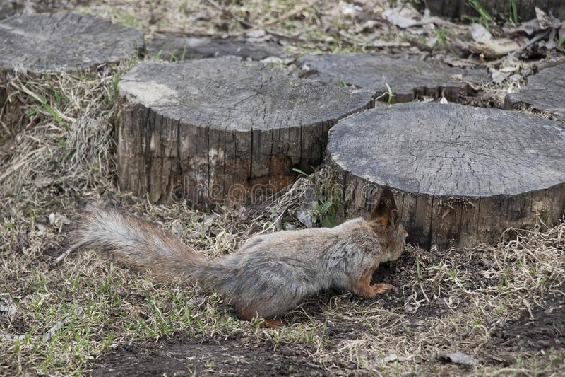 Een eekhoorn met een pluizige staart zoekt noten naast een houten stomp Bruin dierlijk knaagdier in natuurlijk stock afbeeldingen