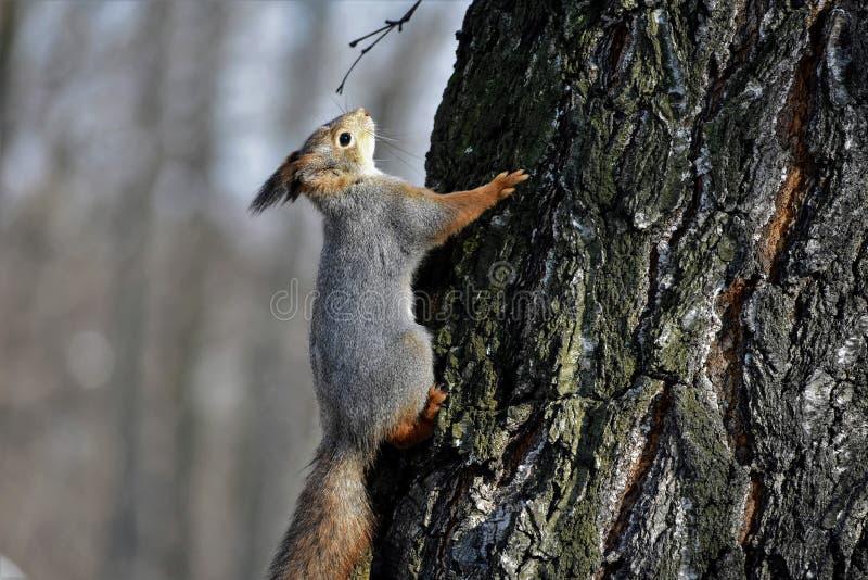 Een eekhoorn op een boomschors stock fotografie