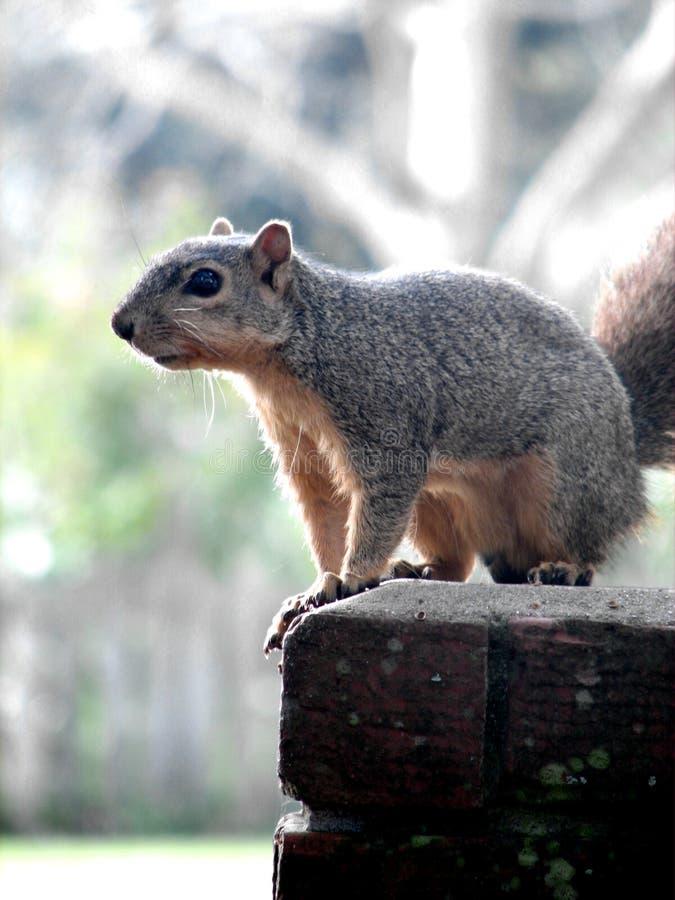 Een Eekhoorn zit op een Post stock afbeelding
