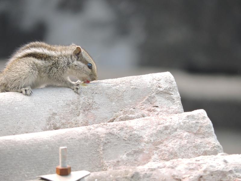 Een eekhoornplaatsing op een terras stock afbeeldingen