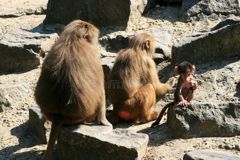 Een een bavianenfamilie en baby stock afbeelding