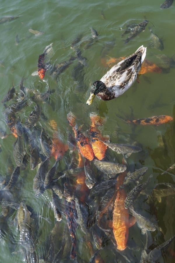 Een eend die boven karperkoi zwemmen vist in een meer royalty-vrije stock foto's