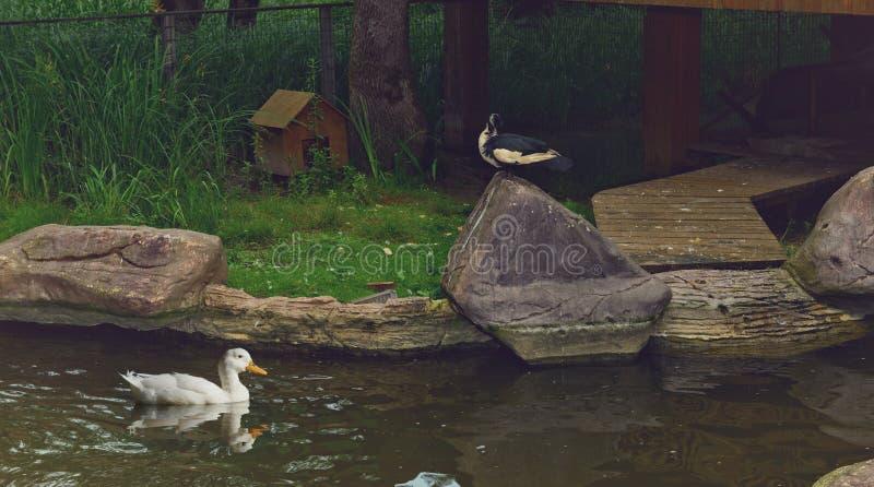 Een eend die in tuin zwemmen royalty-vrije stock foto's
