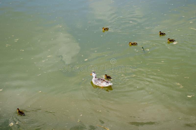 Een eend met eendjes zwemt in een vijver Eenden die in de vijver zwemmen Wilde Wilde eendeend Mannetjeseenden en wijfjes royalty-vrije stock foto's