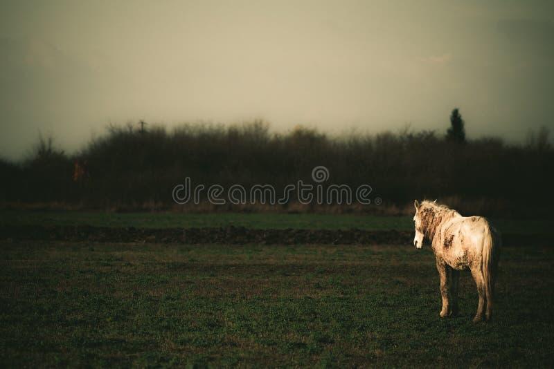 Een eenzaam droevig wit paard op een gebied in de herfst stock afbeeldingen