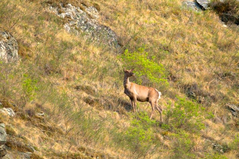 Een eenzaam hert op een groene weide royalty-vrije stock afbeelding