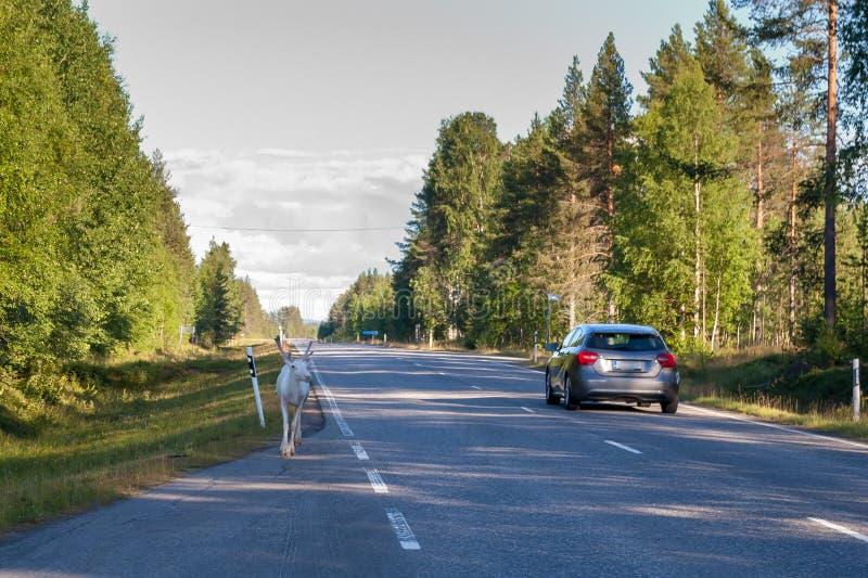 Een eenzaam jong wit rendier loopt op een weg in Finland royalty-vrije stock afbeeldingen