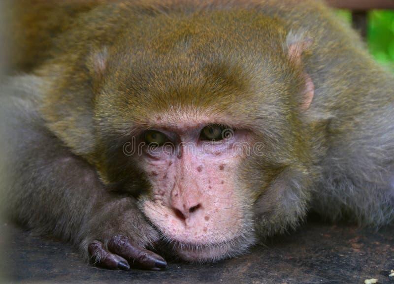 Een eenzaam portret van de macaqueaap stock fotografie