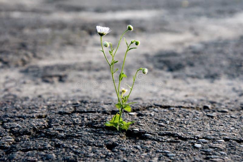 Een eenzame bloem maakt zijn manier door het stadsasfalt, hunkerend naar voor de zon en de macht van het installatieleven stock foto's