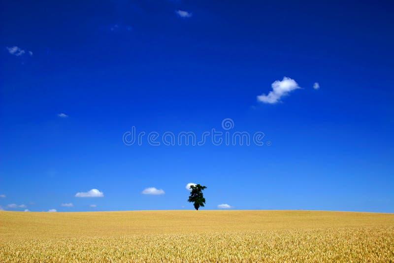 Een eenzame boom op een groot graangebied stock fotografie