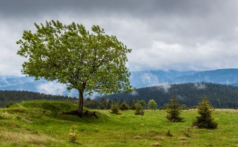 Een eenzame breedbladige boom op de heuvel in Sumava royalty-vrije stock fotografie
