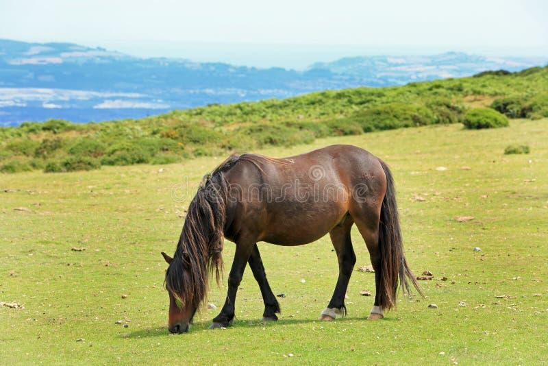 Een eenzame Bruine Dartmoor-Poney die op de weelderige gebieden in het Nationale Park van Dartmoor, Devon, Engeland weiden stock foto's